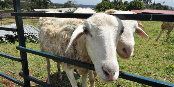 dona una pecorella (2)